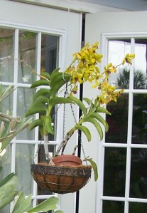 Orchids blooming in my garden